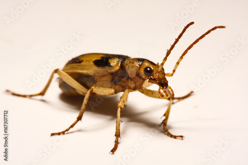 Bombardier beetles on a smooth background. Fototapet