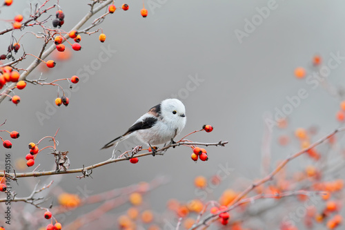 Fototapeta Long tailed tit posing with red berries.