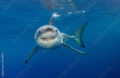 Fotografie, Obraz Great white shark underwater view, Guadalupe island, Mexico.