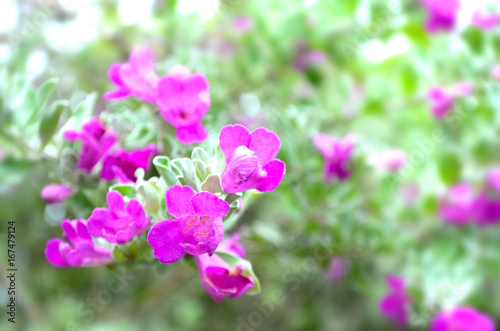 Canvastavla Pink bougainvillaea flower is blooming, Green leaf background