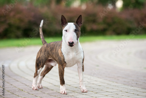 Fotografering beautiful english bull terrier dog standing in the park
