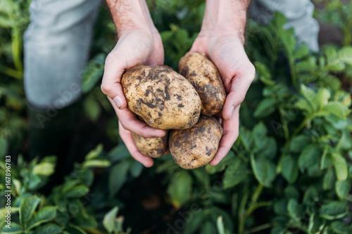 Foto farmer holding potatoes in field