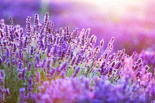 Fototapeta premium Lawendowy kwiatu pole przy zmierzchem.