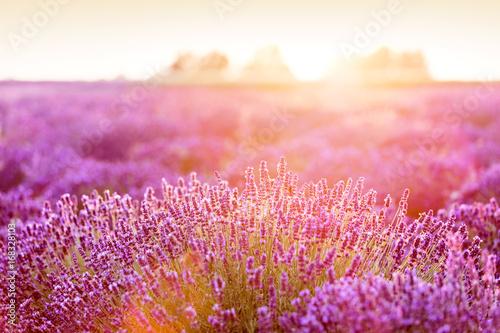 Lavender flower field at sunset.