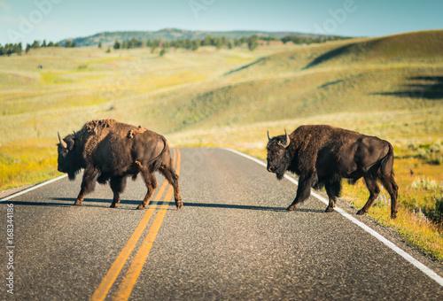 Fototapeta Bison buffalo crossing road