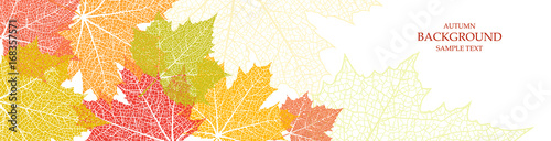 Fototapeta Autumn background and leaves of a maple