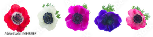 Fotografering Heads of Anemones flowers isolated on white background