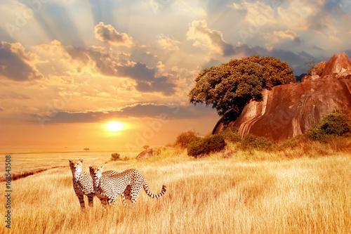 Gepardy w afrykańskiej sawannie na tle pięknego zachodu słońca. Park Narodowy Serengeti. Tanzania. Afryka.
