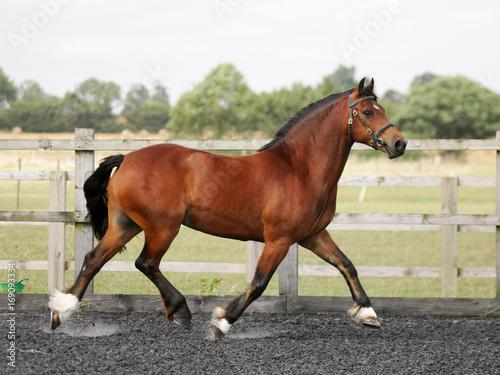 Canvas Print Trotting Horse