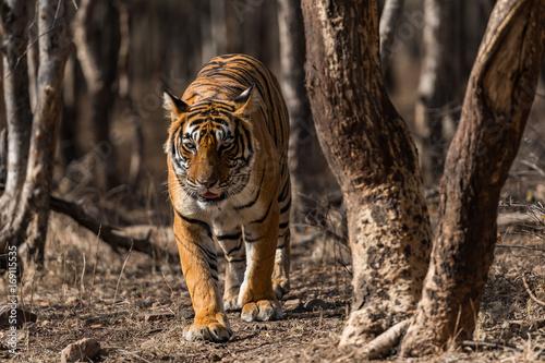 Fototapeta Noor from Ranthambore National Park, India