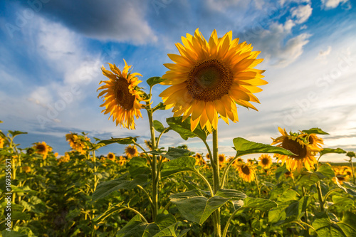 Field of blooming sunflowers