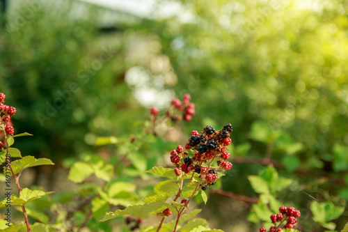 Photo Bunch of red and black Blackberries