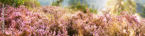 Fotografie, Obraz Common Heather, Calluna vulgaris, Lüneburg Heath, Germany