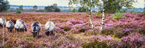 Obraz na plátně Heidschnucken (Sheep Breed)  in Lüneburg Heath, Germany