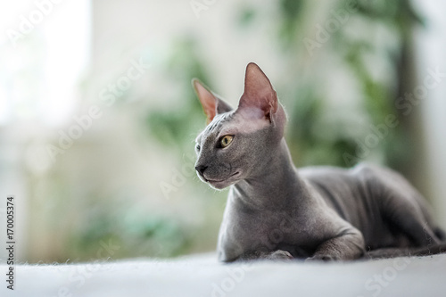 Canvas Print A beautiful gray sphinx cat sitting on a white background.