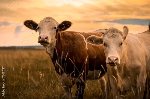 Fotografía Cows in sunset