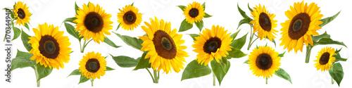 Sunflowers isolated on white background