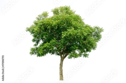 Tablou Canvas tree isolated on white background