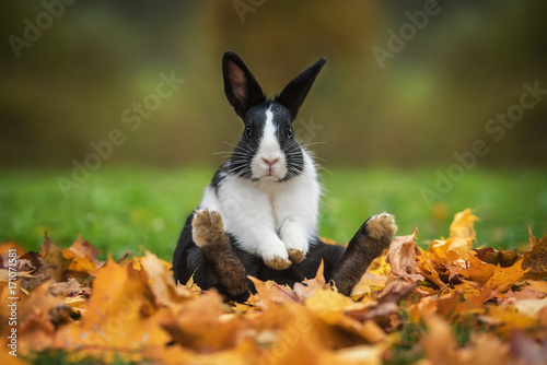 Leinwand Poster Little funny rabbit sitting in leaves in autumn