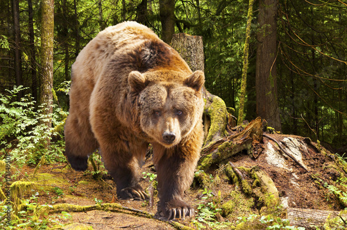 West Canada, rocky mountains, canadian brown bear moving in the forest