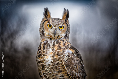 Great Horned Owl closeup