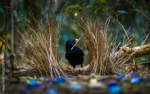 Fotografía Satin Bowerbird