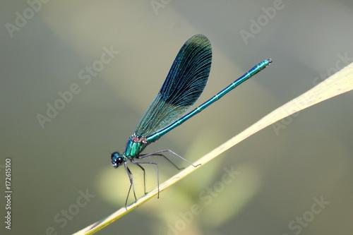Libelle: Gebänderte Prachtlibelle sitzt auf einem Grashalm