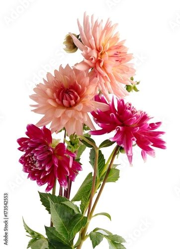 pretty flowers of dahlia
