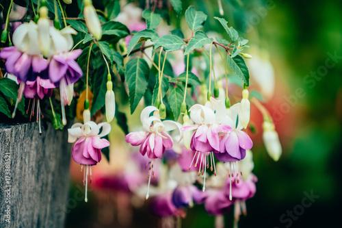Fotografija Purple fuchsia