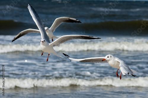 Mewy w locie  nad Bałtykiem w Kołobrzegu