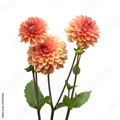 Dahlia rose saumoné Fototapet