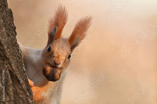 Canvas Print Squirrel peeks out from behind a tree with a nut in his mouth.