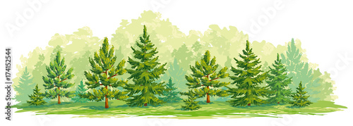 Fotografía Young forest of pine and fir trees- vector graphic