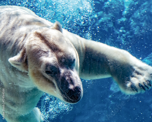 Polar bear underwater