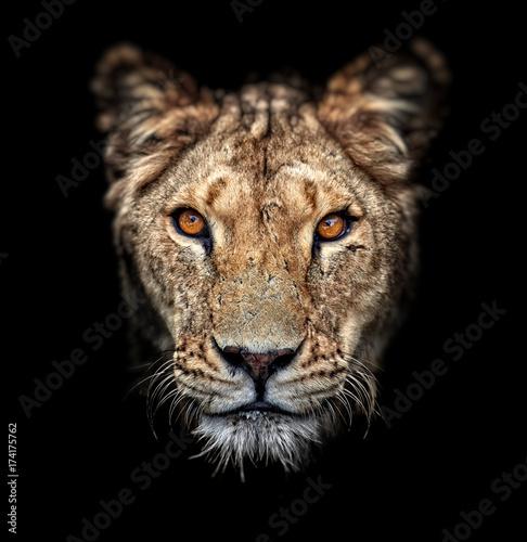 Stampa su Tela Portrait of a lioness on black background