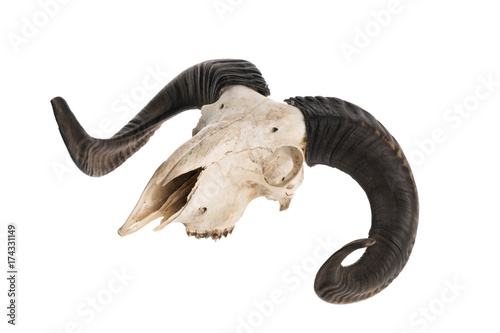 Side view of real ram skull with horns