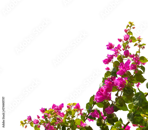 Fotografía Blooming bougainvillea isolated on white background