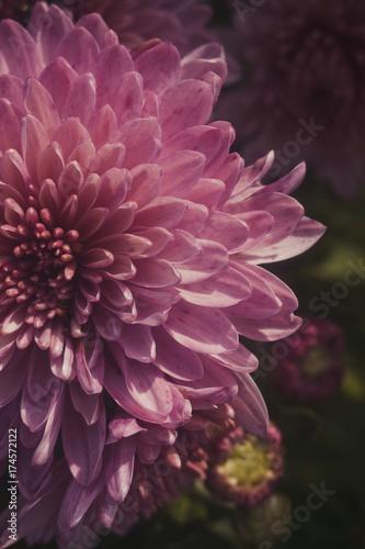 Canvas Print Impossible purple Chrysanthemum