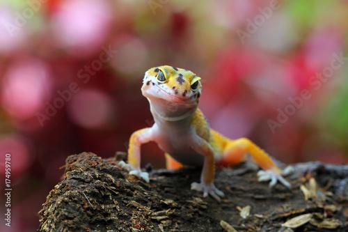 Beautiful gecko lizard