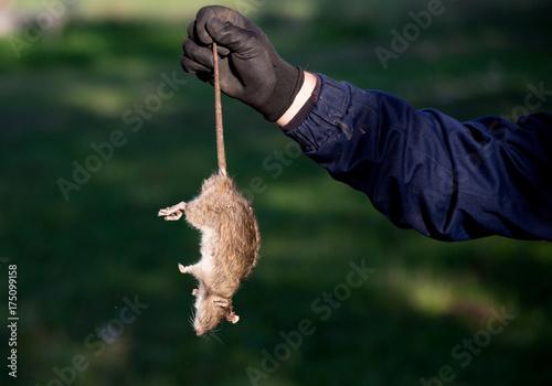 Farmer holding dead rat