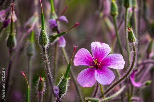 Die leuchtende, magenta Blüte eines Madeira-Storchschnabel (Geranium maderense)  The luminous, magenta flower of a Geranium maderense