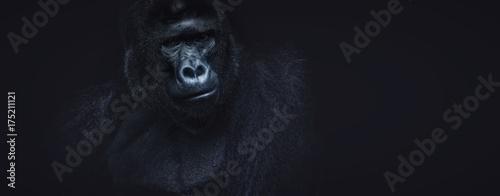 Fotografia Portrait of a male gorilla