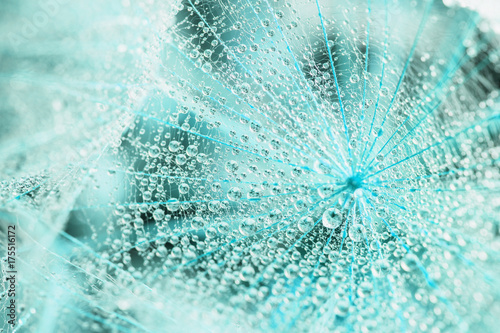Abstract macro photo of a dandelion with water drops. Rain drops. Blue toning