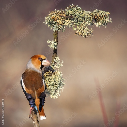 Fotografiet hawfinch sitting under the snow on a beautiful stick with moss