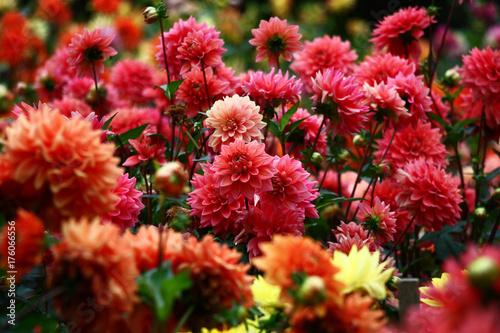 Obraz na płótnie Dahlias in red tones
