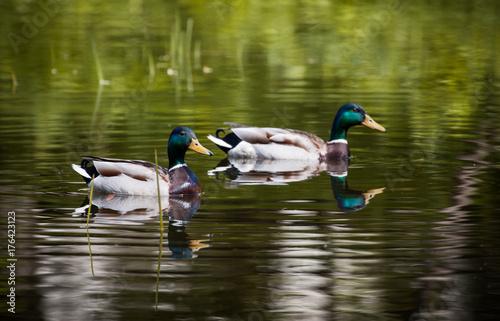 Billede på lærred wild duck swims in the lake