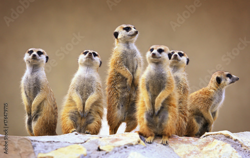 Canvas Print Group of watching surricatas outdoor