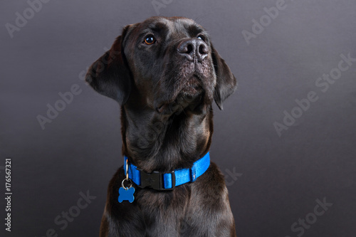 Canvas Print Shiny young black labrador wearing blue collar, looking away on black background