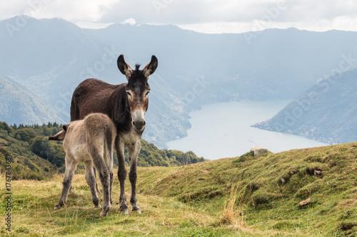 jenny with little donkey feeding on milk above lake Como in Italy