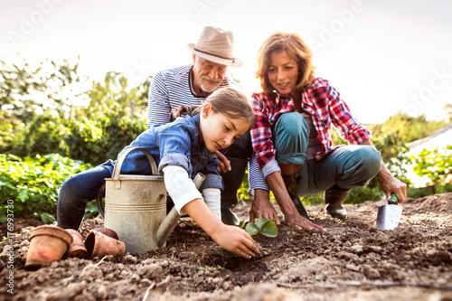 Obraz na plátne Senior couple with grandaughter gardening in the backyard garden